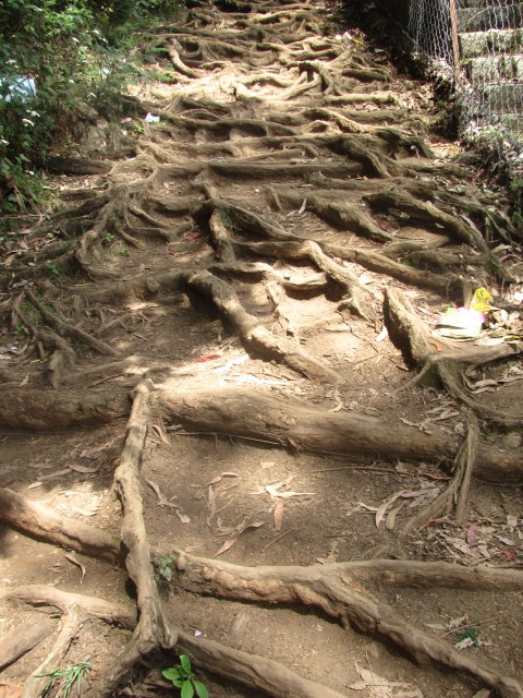Kodai trek trail : roots on route